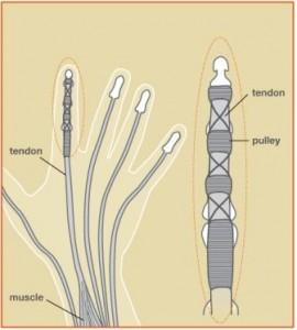 flexor tendons hand