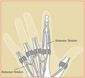 extensor tendons hand